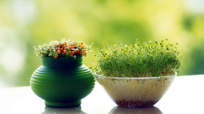 Домашний огород - свежие витамины не выходя из дома