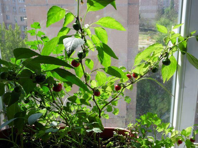 Перец Large Red Hot cherry