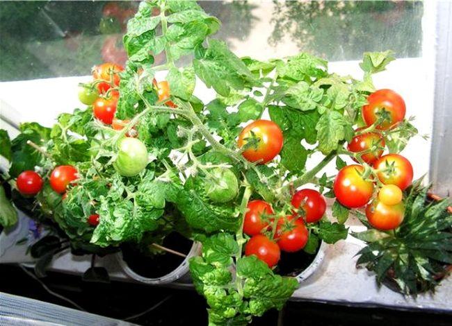 помидоры черри на подоконнике зимой